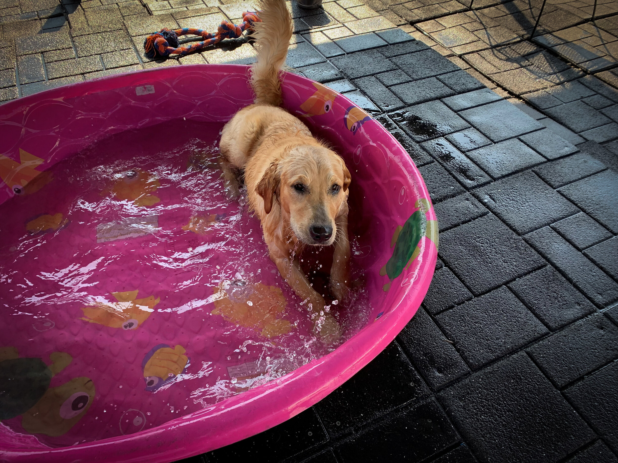 golden in pool.jpg