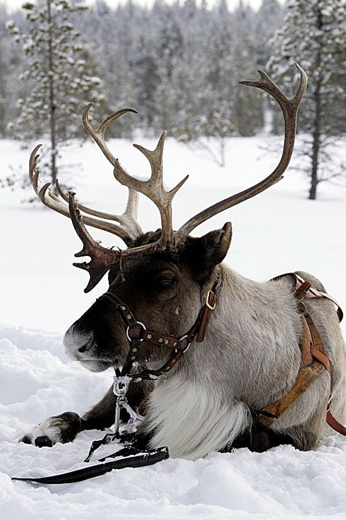 Bixie - Is the fourth Reindeer who joined us in September 2015 from Scandinavia.