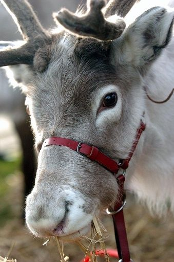 Dixie - Is our castrated stag, he's great a pulling Santa's Sleigh!