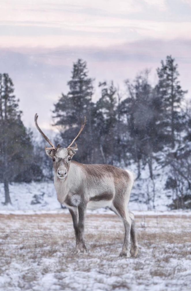 Mixie - Is the third Reindeer who joined us in September 2015 from Scandinavia.