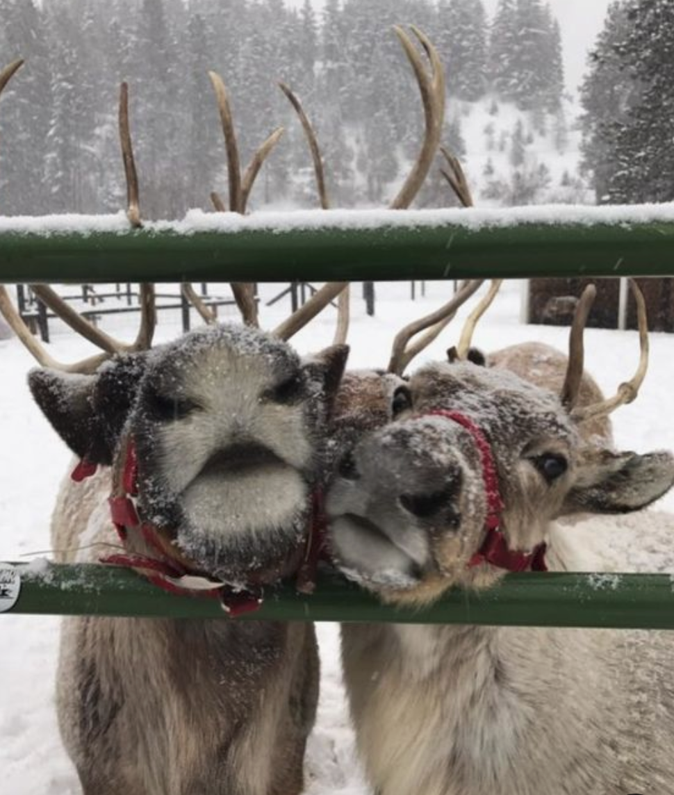"""We rented the Reindeer to launch our Christmas Tree farm, everyone who attended loved them and it brought some Christmas sparkle to the event."" - — Gordon, Co. Antrim"