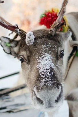 Trixie - One of our first two reindeer who arrived with us in September 2014, from the SAMI people in Scandinavia.