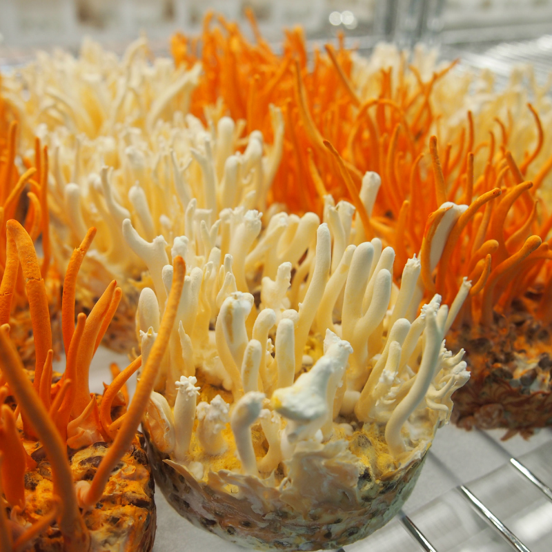 MeansGood-cordyceps-02.png