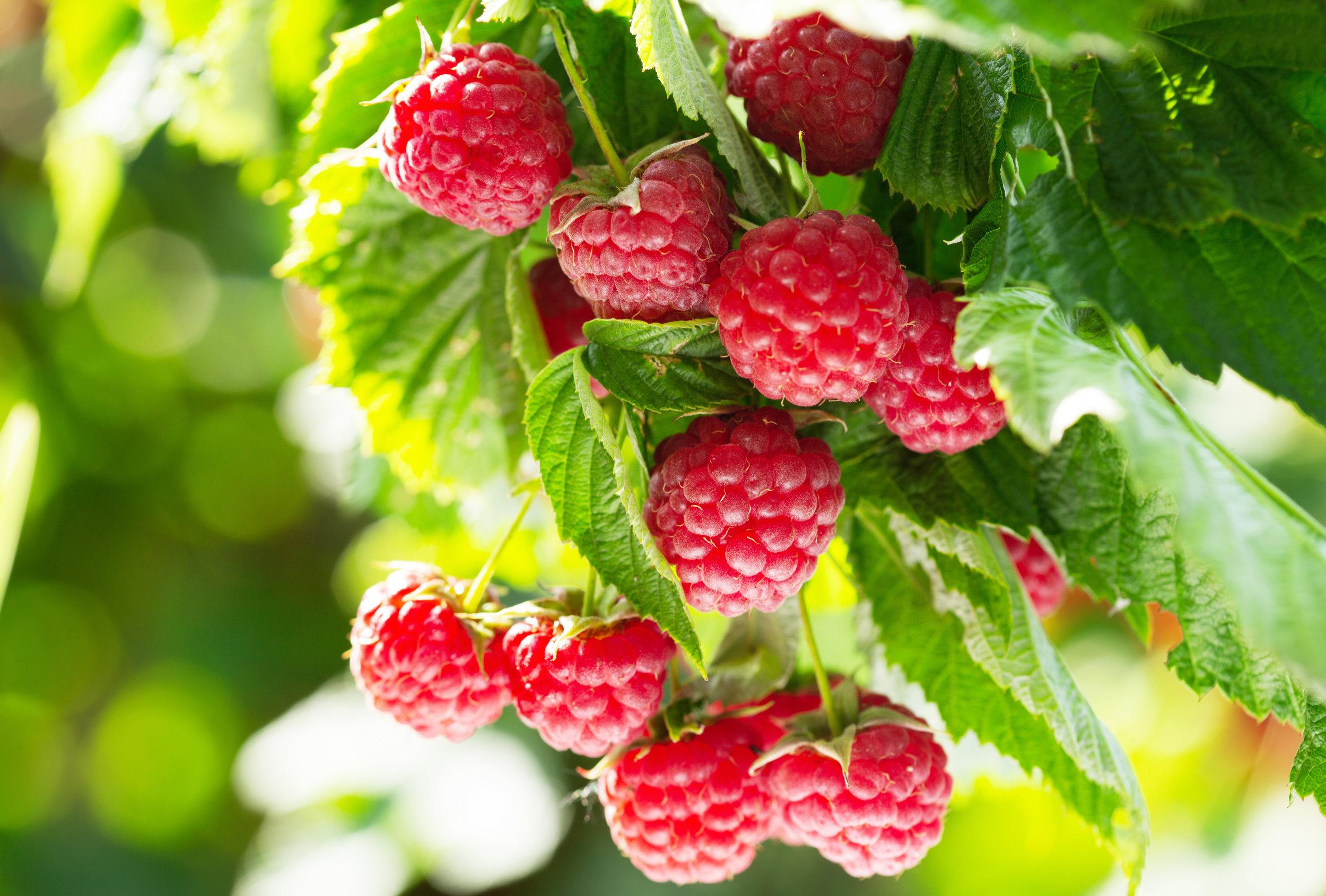 Red Raspberry Leaf adobe stock.jpeg