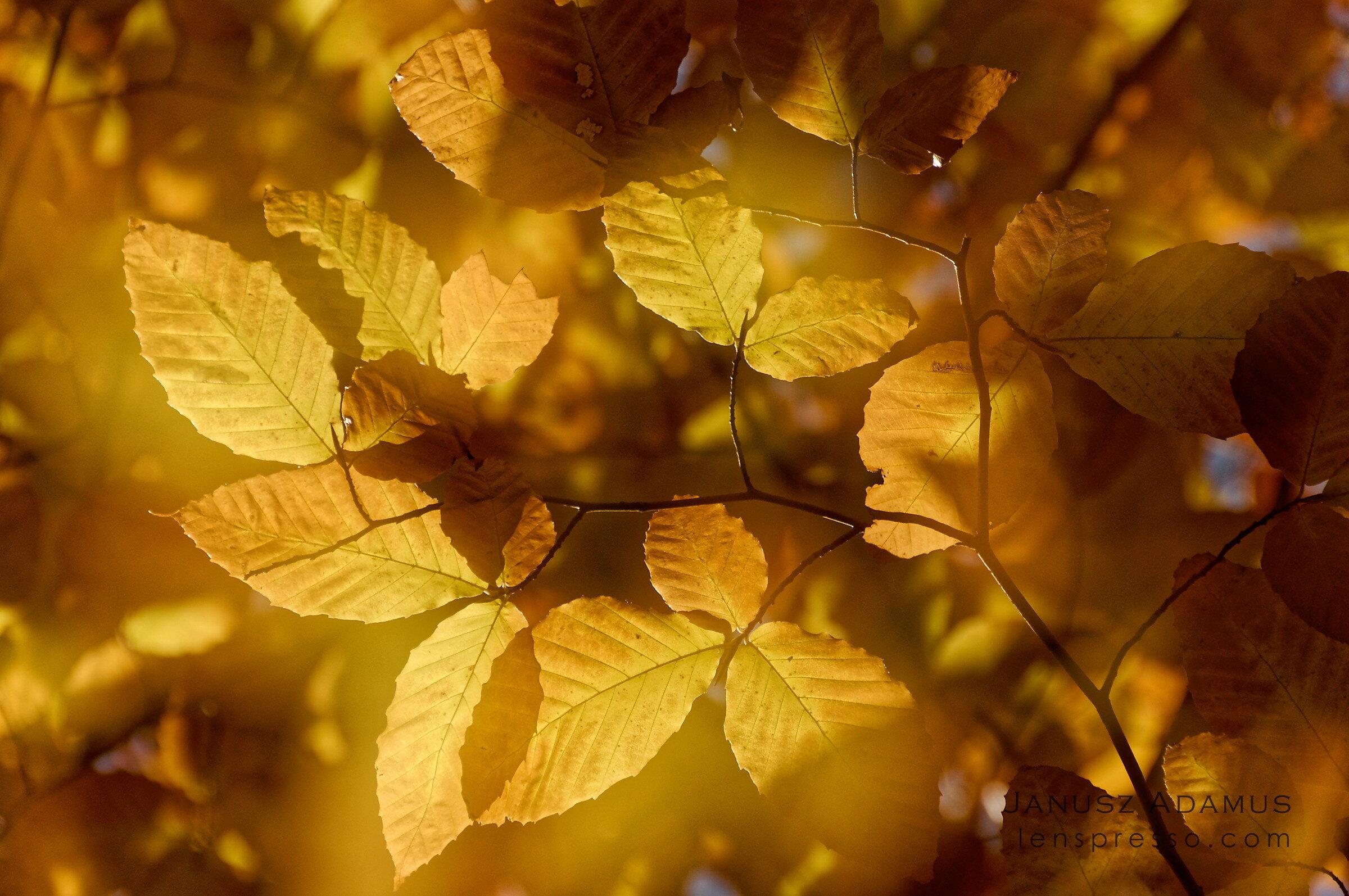Algonquin amber