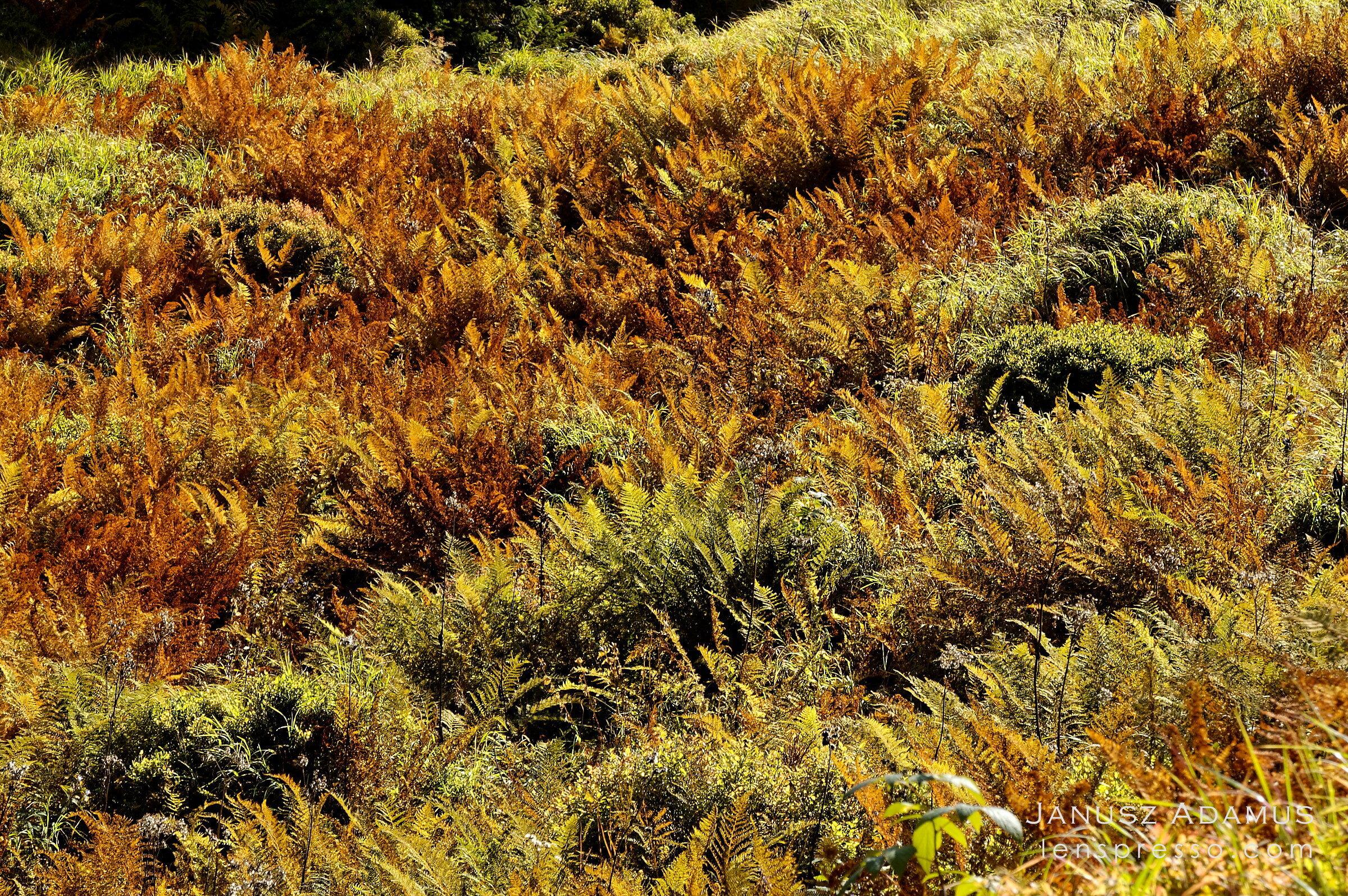 Golden ferns in Hlinska Valley, Tatras