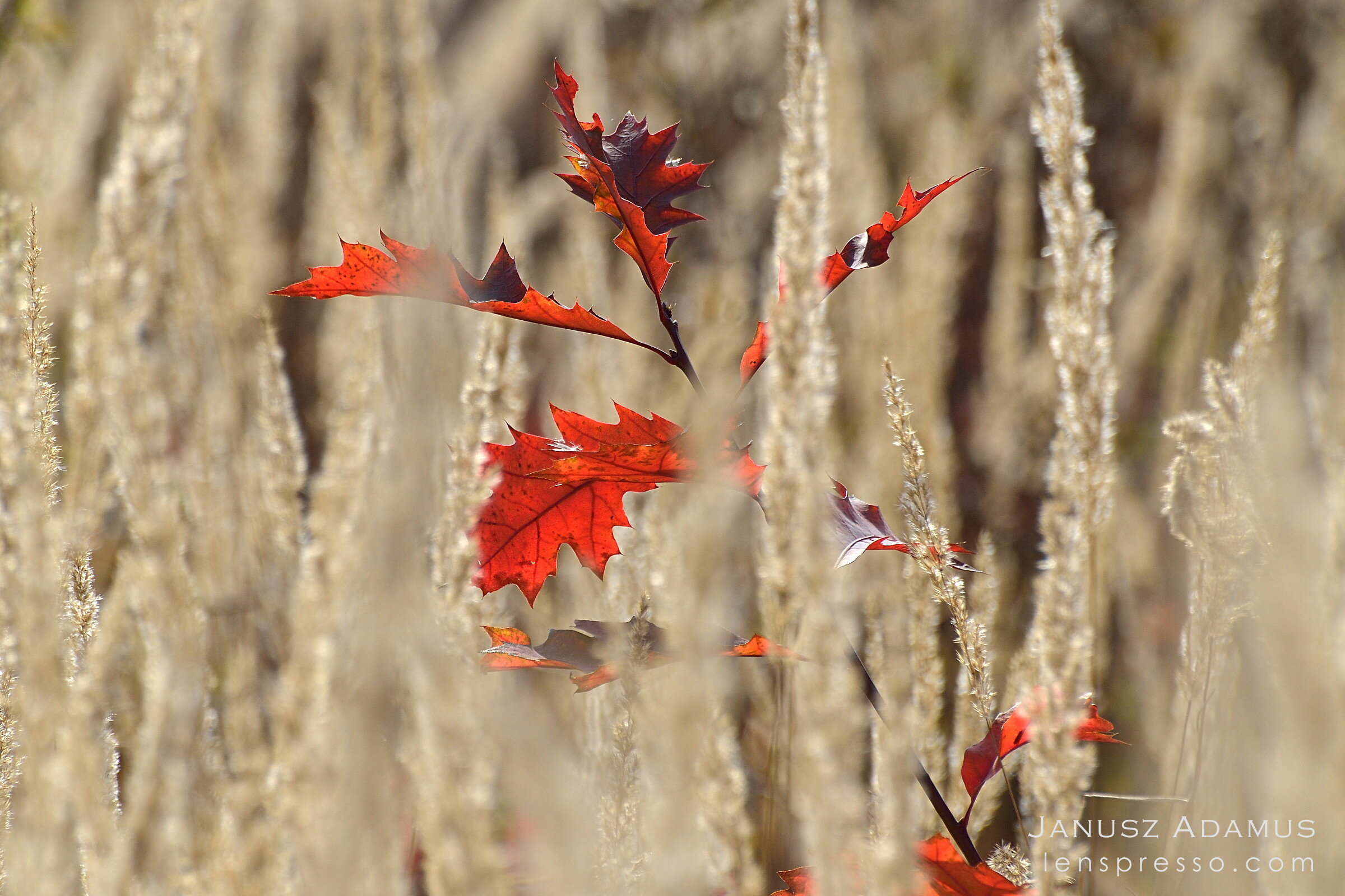 Baby red oak in tall grass