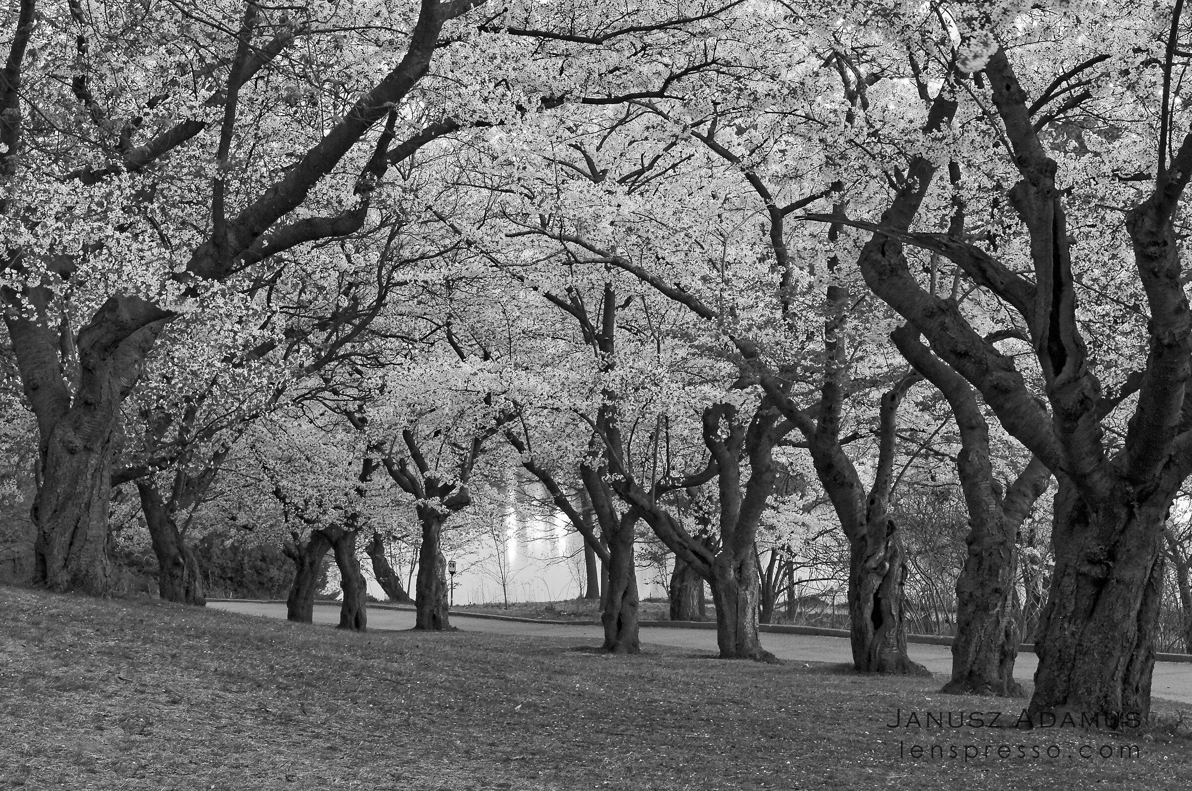 Sakura cherry trees, Toronto