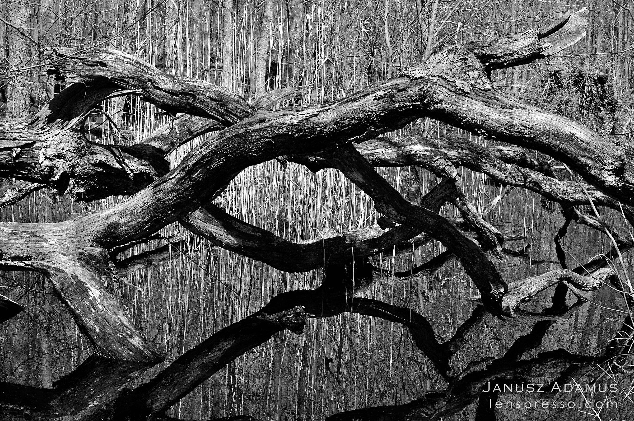 Dead trunks reflection