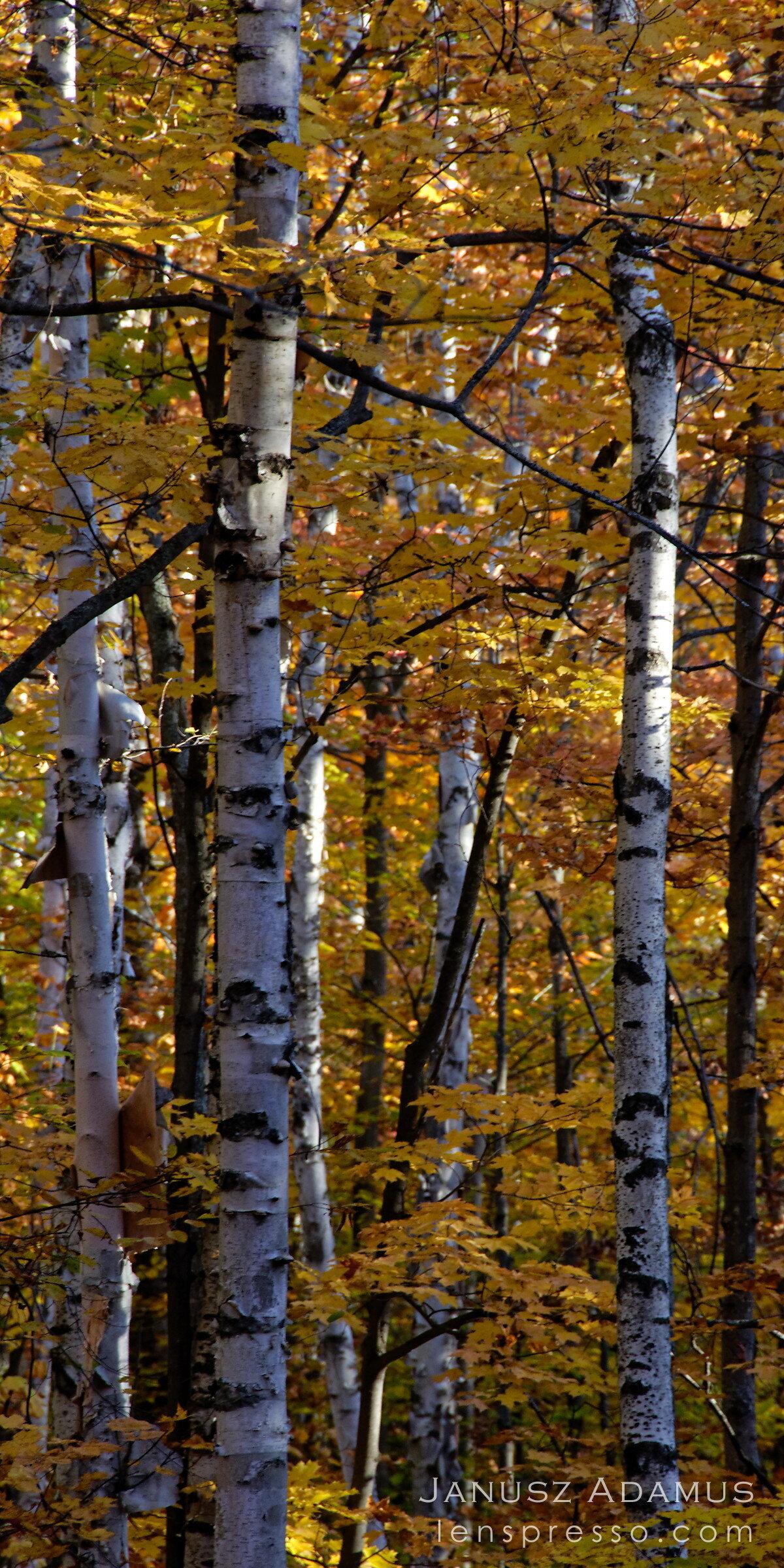 Algonquin birch trees