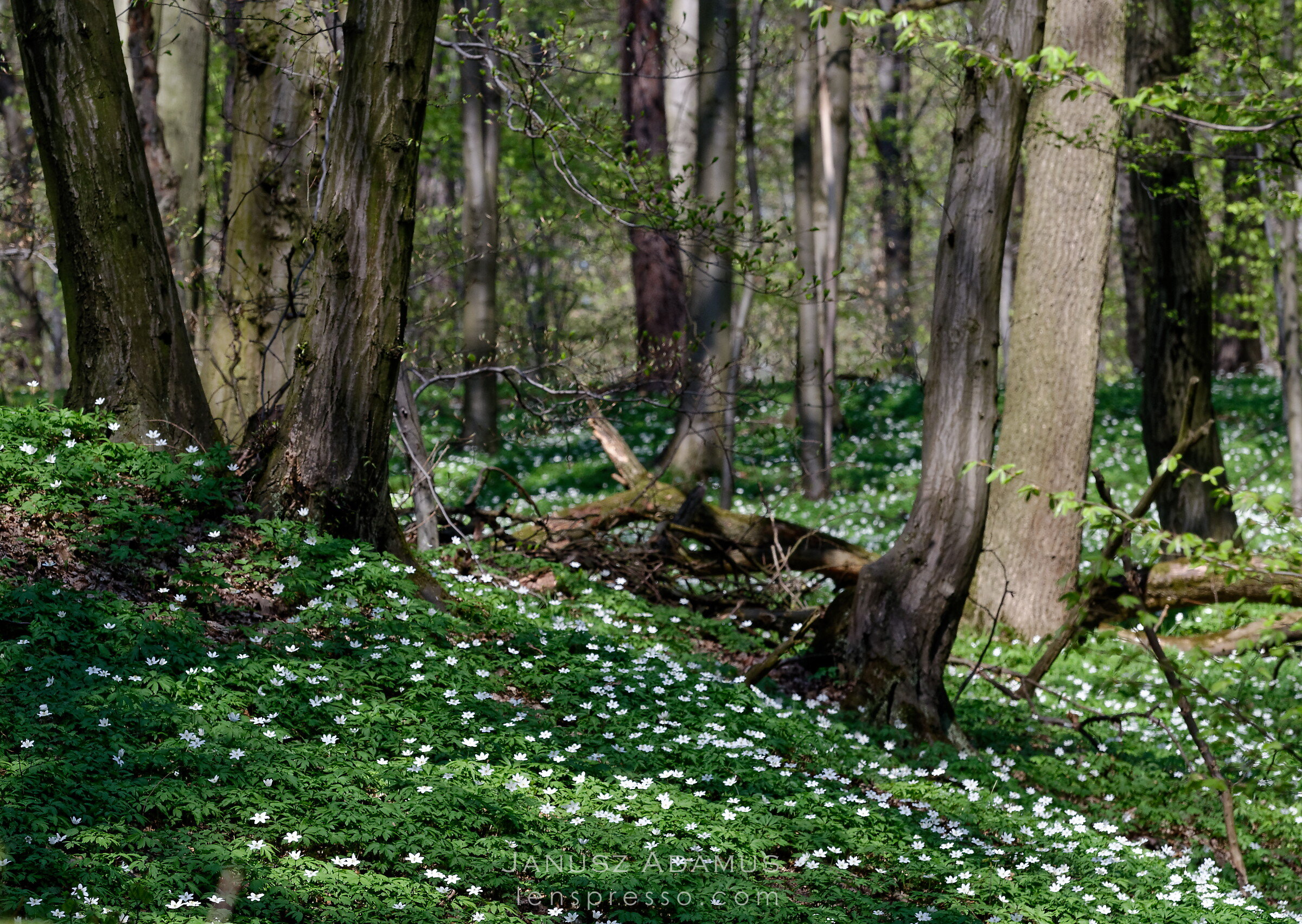 Forest anemone