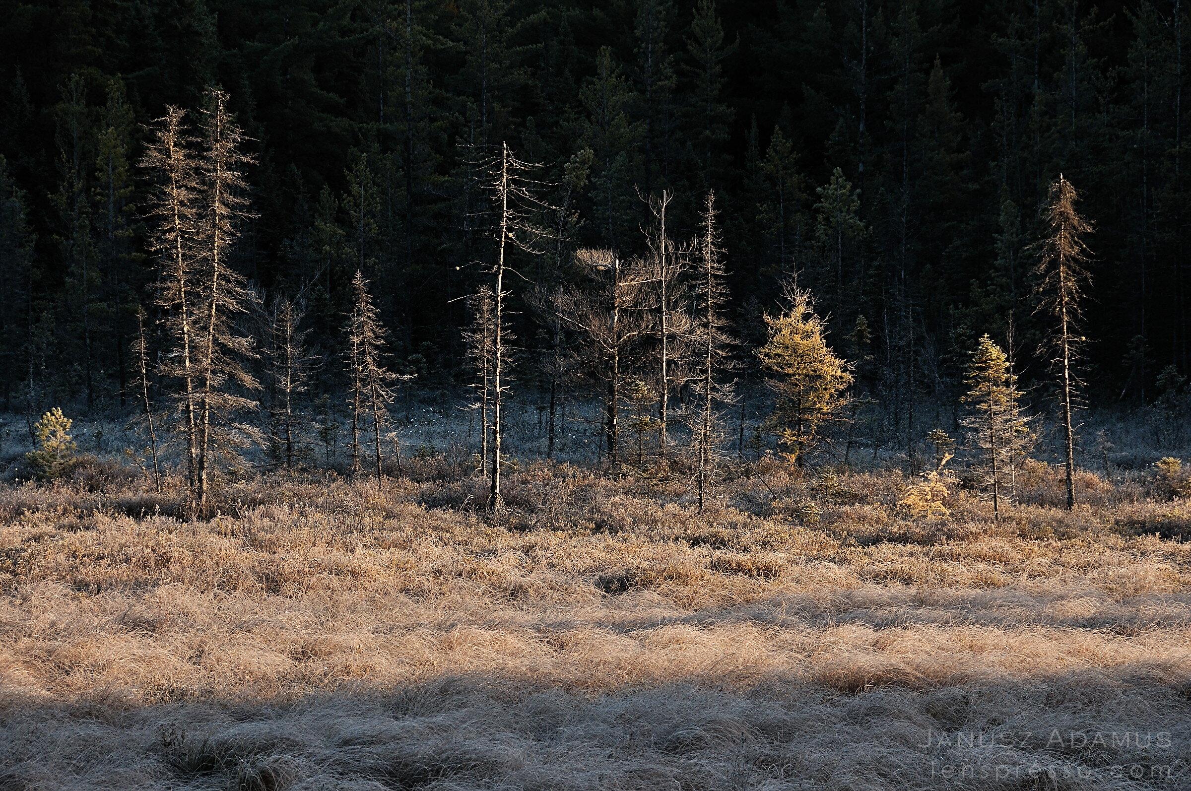 Frosty bog, Algonquin Park