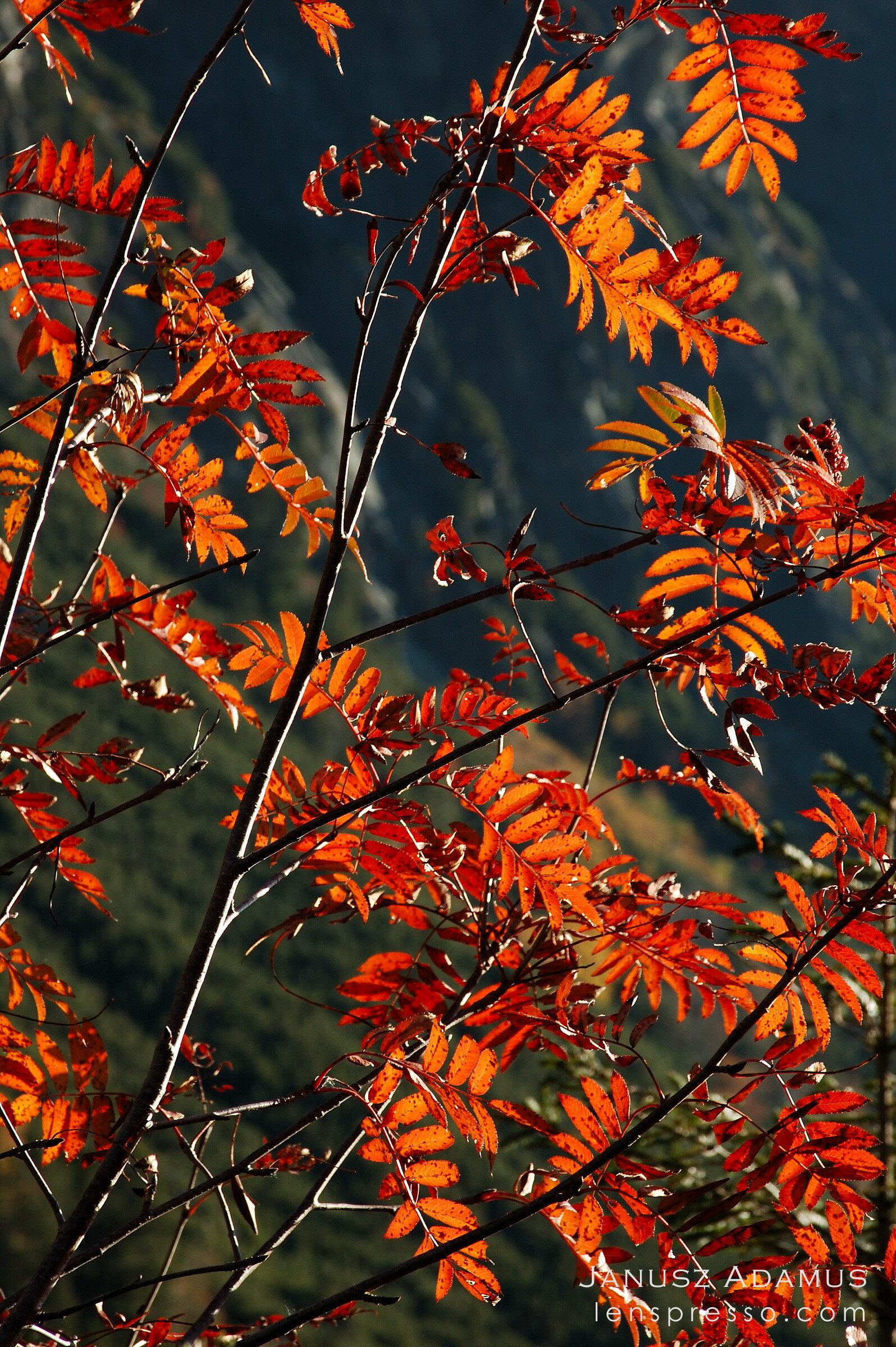 October rowan tree, Tatras