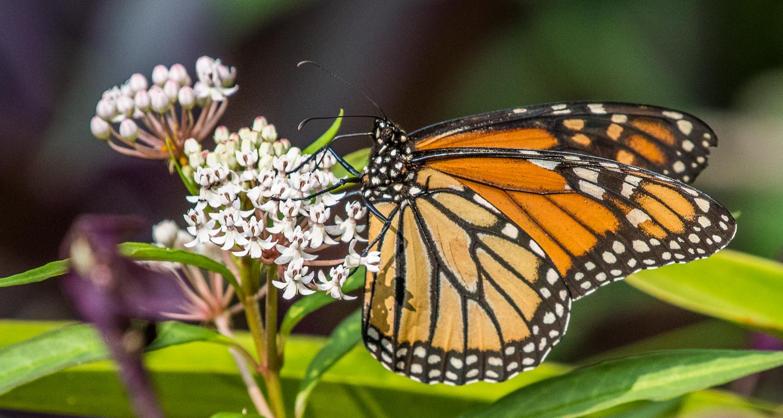 Monarch on Milkweed1.jpg