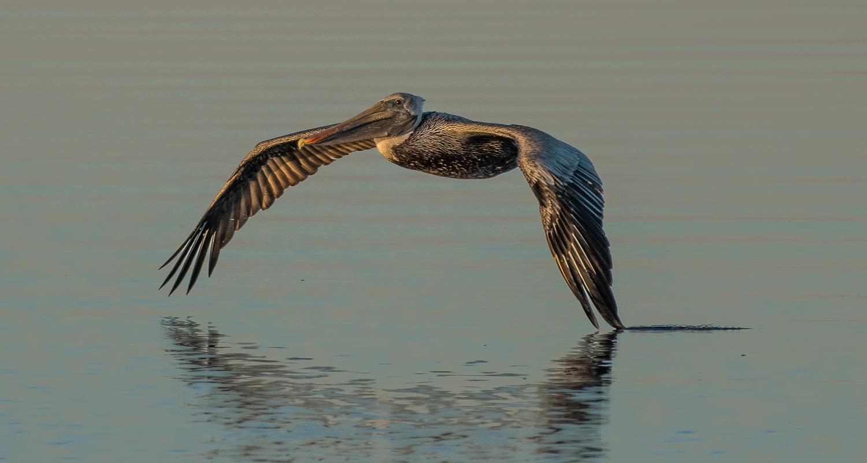 Brown Pelican1.jpg