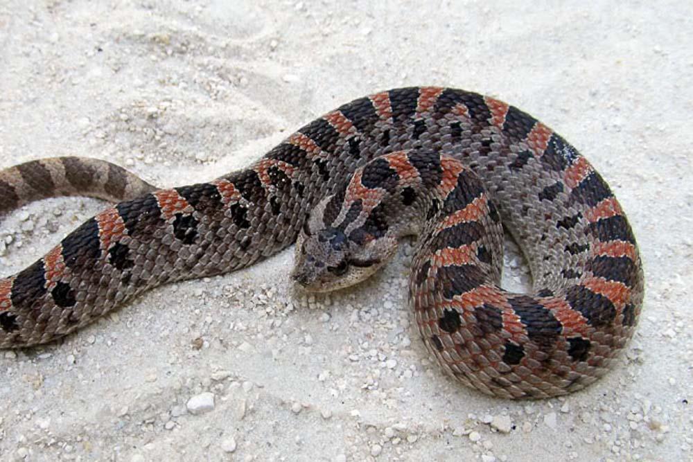 Southern Hog-nosed Snake