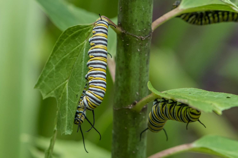 Monarch Caterpillar3.jpg