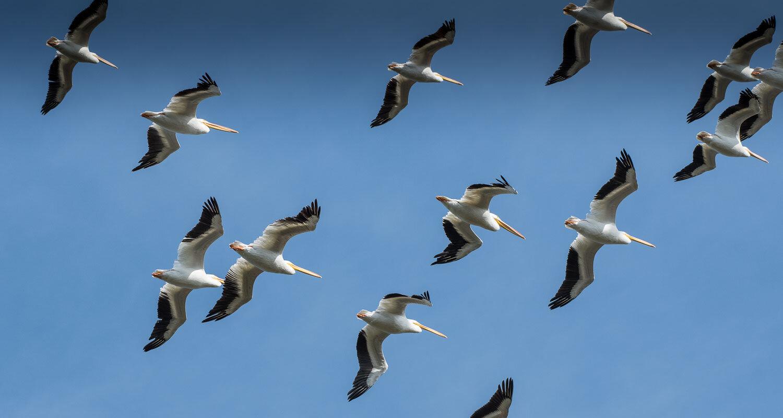 American White Pelicans6.jpg