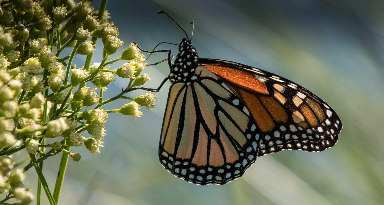 Monarch Butterfly1.jpg