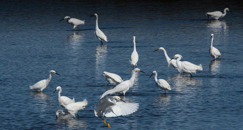 Snowy Egrets2.jpg