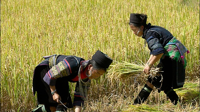 THE HARVEST by Doua Moua - A son who returns home to help his ailing and traditional Hmong father, only to set off a chain of events that affects the lives of his entire family.