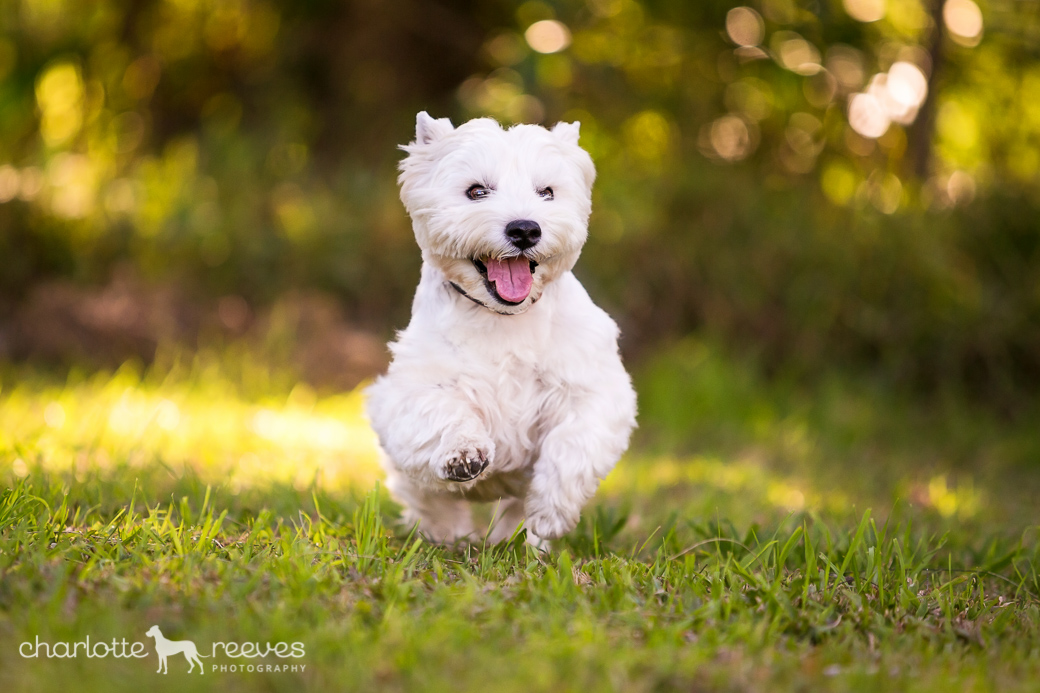 Pepper-Westie-West-Highland-White-Terrier-01.jpg