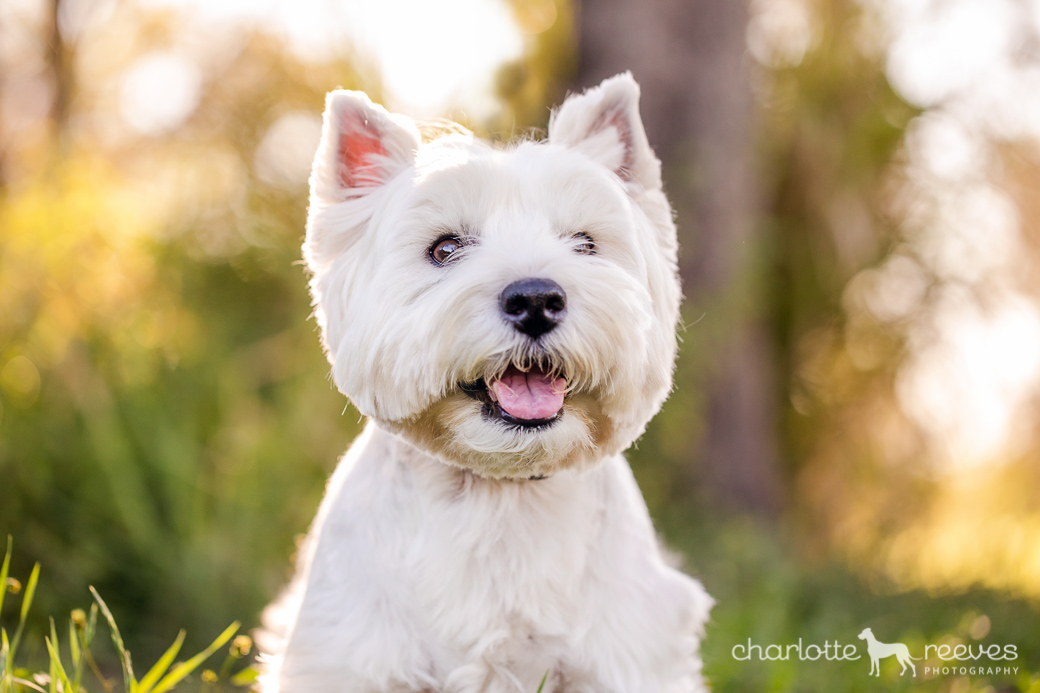Pepper-Westie-West-Highland-White-Terrier-06.jpg