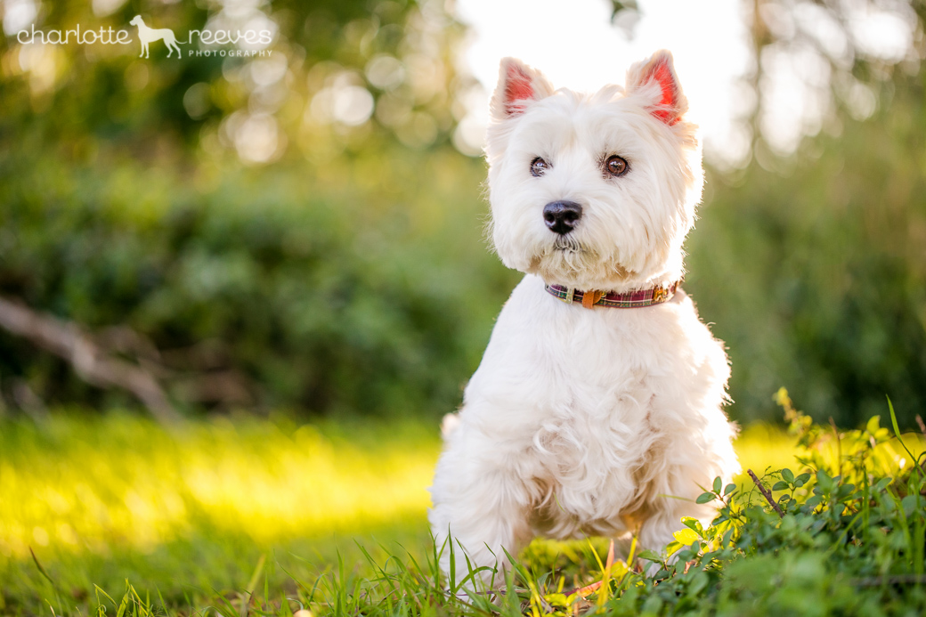 Pepper-Westie-West-Highland-White-Terrier-08.jpg