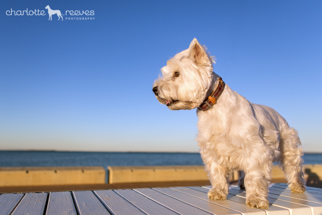 Pepper-Westie-West-Highland-White-Terrier-11.jpg