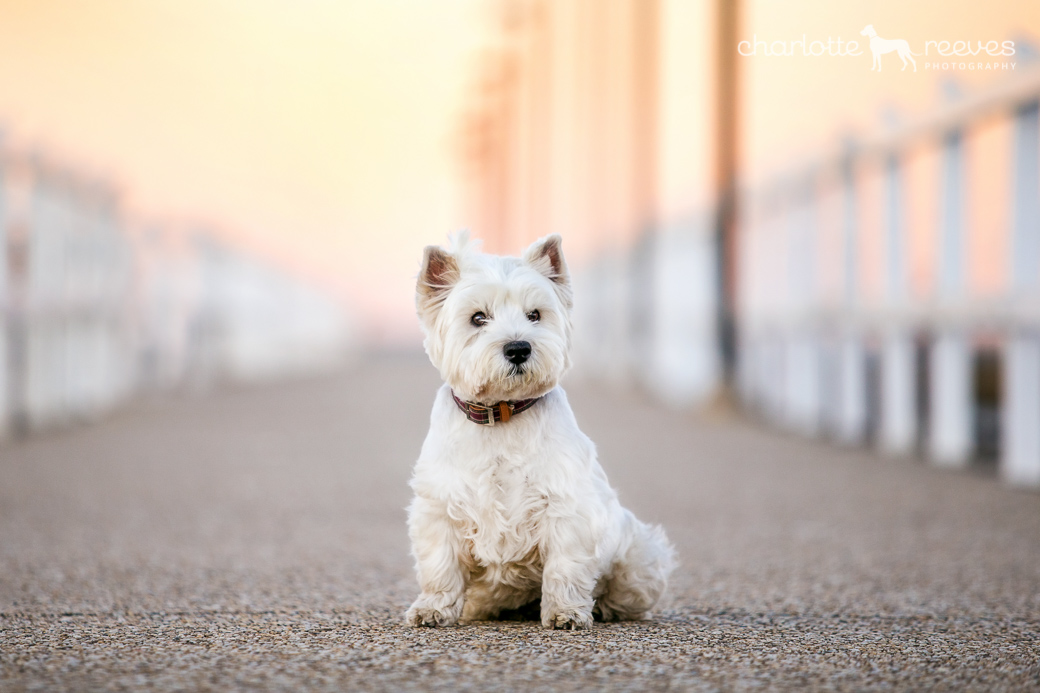 Pepper-Westie-West-Highland-White-Terrier-17.jpg