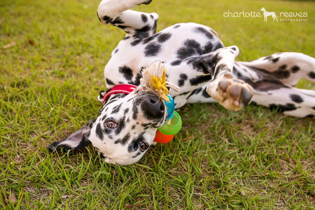 Dynamo the Dalmatian was best kept on-leash (edited out). That didn't stop him partying during his photo session though!