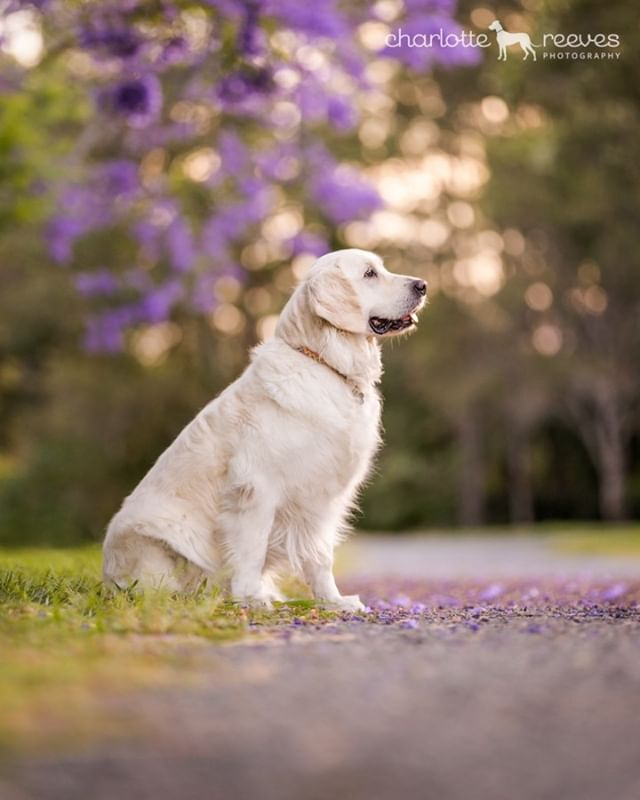 My oh my... Jacaranda trees AND golden sunshine. A perfect match! Cloud the Golden Retriever, with her lovely affectionate personality and super soft golden coat, was one of my models at my new Jacaranda location last year. It was the perfect spot for her! ☀️🌸  The trees are flowering at their best for only a few weeks each year, usually around the end of October / start of November - but it does vary. If you don't want to miss out on your Jacaranda-inspired photo session, get in touch early and we'll get you on my calendar. ✅🗓  #goldenretriever #retrieverlove #goldenretrieversofinstagram #goldensofinstagram #brisbanedogs #dogsofbrisbane #brisbanedogphotographer #jacarandaseason #brisbanejacarandas #brisbanejacarandaphotos #jacarandafever #dogsandjacarandas