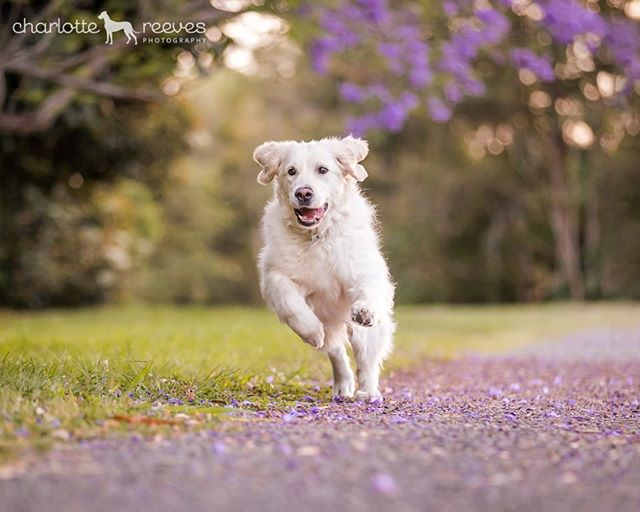 """Only three months until my absolute favourite time of year - Spring! Otherwise known as """"Jacaranda Season"""" 🌸 😆  Last year I found the perfect👌spot for Jacaranda-inspired photo sessions, and Cloud the Golden Retriever was one of the dogs I photographed there. I just loved the way her photos turned out, I'll be sharing a couple more over the next day or so! 😍  If you're interested in booking a Spring session, the best time for the Jacarandas is late October / early November. Lock it in now so you don't miss out! 🏃♀️That also means plenty of time to save up for some gorgeous products to show off your photos. 🖼  #jacarandaseason #jacarandatrees #brisbanejacarandas #dogsandjacarandas #dogsofbrisbane #brisbanedogs #brisbanepetphotographer #brisbanedogphotographer #jacarandaobsession #charlottereeves #goldenretriever #goldenretrieversofinstagram"""