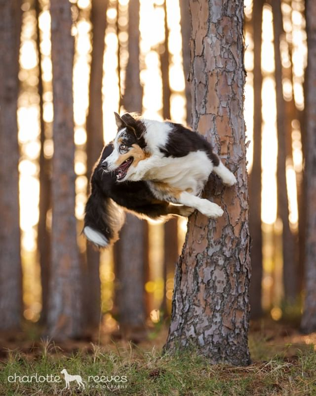 Photographed for my #actionsuperstardog series, Bella the Australian Shepherd was chosen for her special talent of rebounding off trees! #barkour 😲🤘⁠ ⁠ What a legend, and such a cool trick to teach your dog! Bella and her little bro Marvel have a bunch of other tricks up their sleeves as well, which you'll see more of soon. One of them in particular is just adorable. #staytuned 😍⁠ ⁠ #australianshepherd #aussieshepherd #bluemerleaussie #trickdog #dogtricks #cleverpup #dogphotography #pineforest #aussiesdoingthings #actiondog #dogsinaction #goldcoastpetphotographer #goldcoastdogs