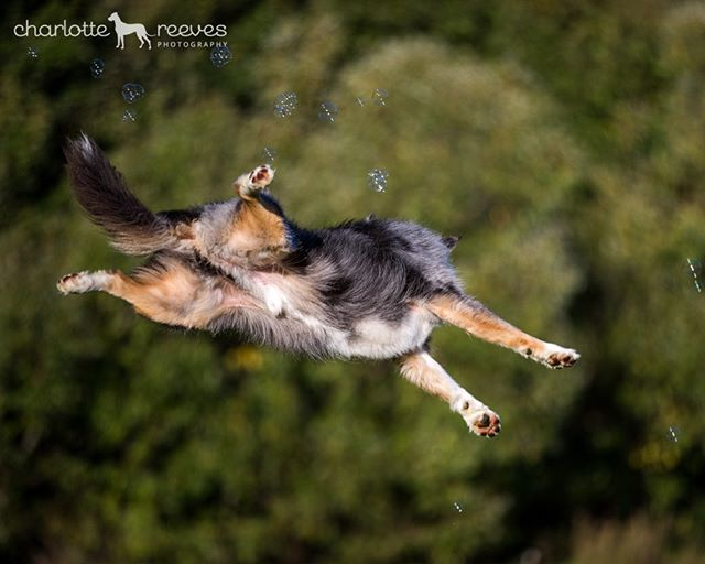 Barney is back, with his bubbles! Couldn't resist another shot of this bouncy young man, levitating around in the air while trying to catch those pesky bubbles. 😬 🤪⁠ ⁠ Barney is a Border Collie, but you could be forgiven for thinking he's an Aussie Shepherd with that gorgeous blue merle and tan colouring! I have Aussies myself and even I was fooled when I first met him. 🤓⁠ ⁠ #bordercollie #bordercolliesofinstagram #bluemerlebordercollie #leapingdogs #jumpingdogs #dogsandbubbles #arrowtownnz #petphotographyworkshop #dogmodel #athleticdogs #activedogs #actiondogphotography #dogsinaction #workingdog #dogphotography #dogphotographer #barkzealand