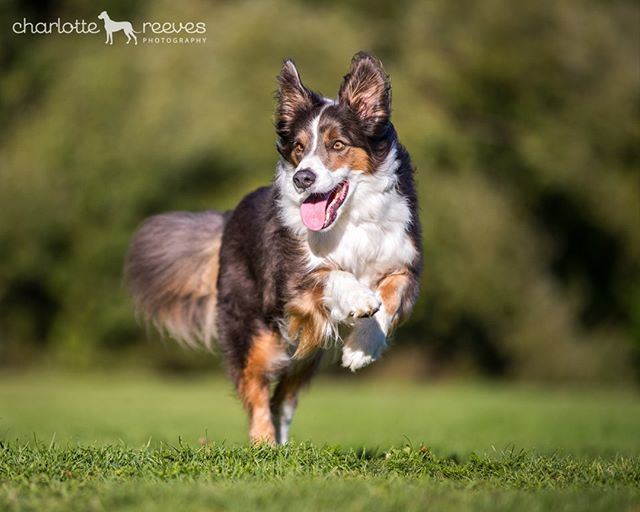 Flynn the Border Collie (by the way, don't they have some pretty coloured Border Collies over in NZ?!) was one of our models for #barkzealand in April earlier this year. 🇳🇿⁠ ⁠ He and his buddy Barney were the perfect action models, sitting and staying, then racing towards us while our attendees practiced focusing and tracking dogs in action. Not once, but over and over again! So lovely to have such well trained and obliging doggy models. 🐕😁⁠ ⁠ #bordercollie #bordercollies #bordercolliesofinstagram  #arrowtownnz #workingdog #dogphotography #dogphotographer #petphotographyretreats #petphotography #petphotographer #dogsinaction