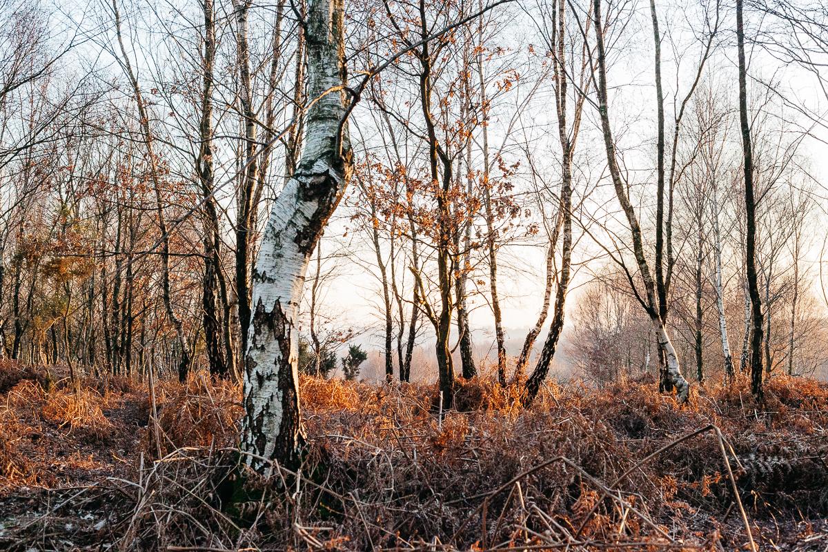 Ashdown Forest Silver Birch 3.jpg