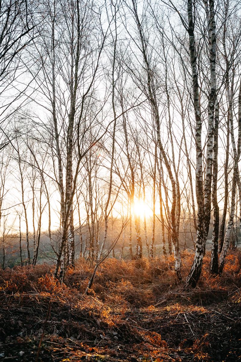 Ashdown Forest Silver Birch 2.jpg