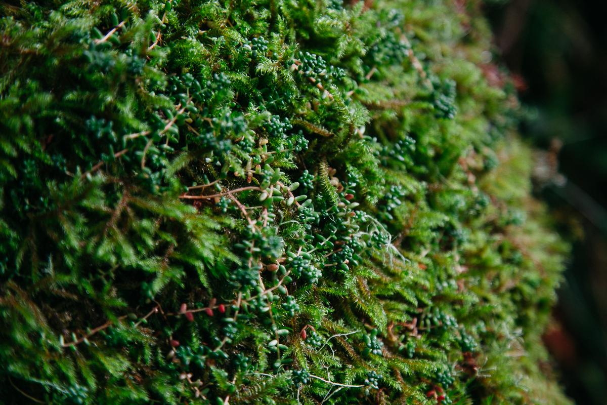 Moss Wistmans Wood.jpg