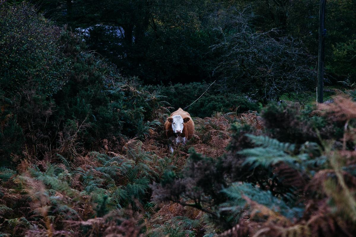 Cow Wistmans Wood.jpg