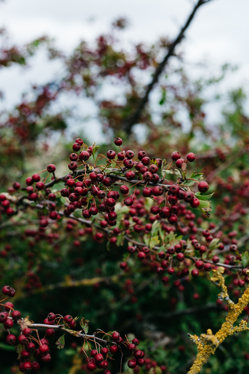 Hawthorn.jpg