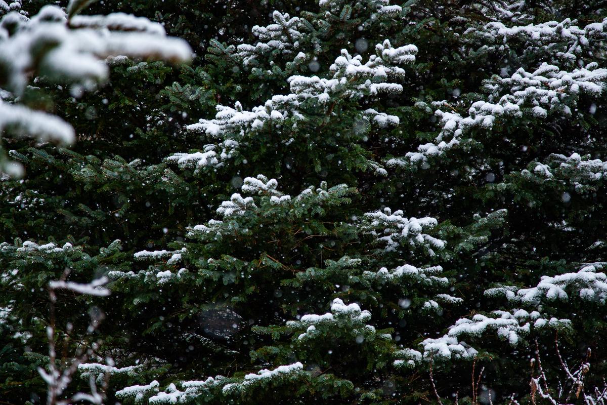 Iceland Spruce.jpg