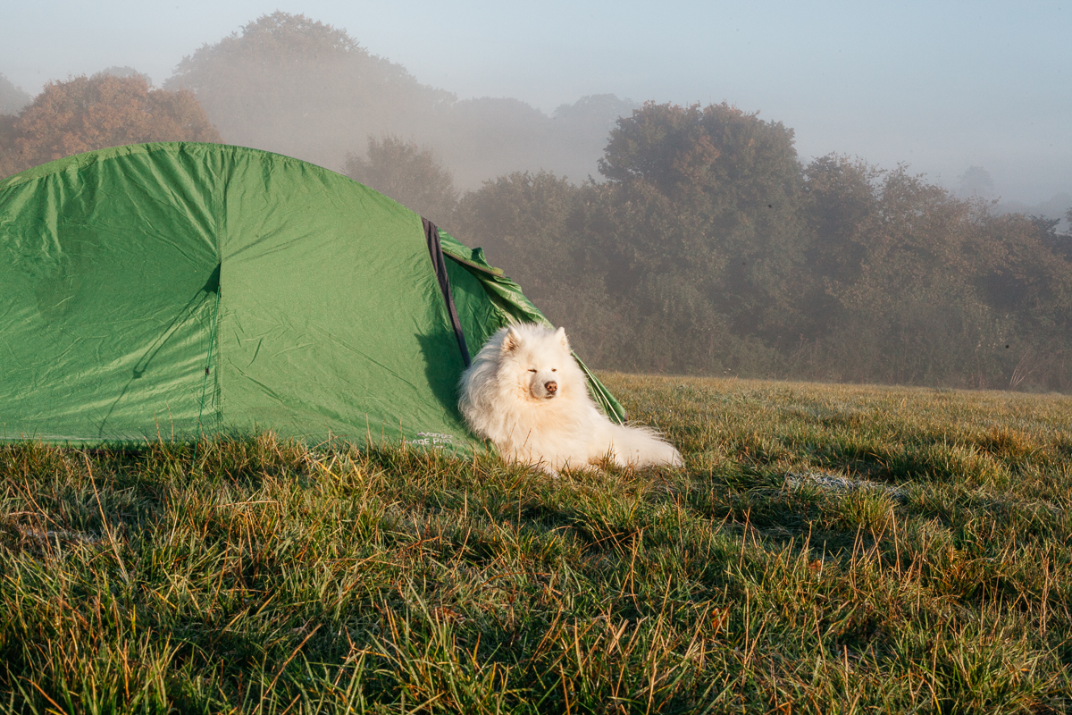 Samoyed Camping.jpg