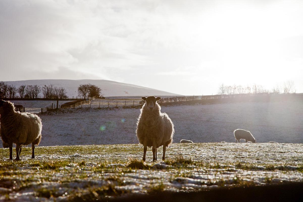 Sheep Lake District.jpg