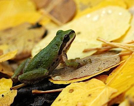 Tree_Frog-USFWS.jpg