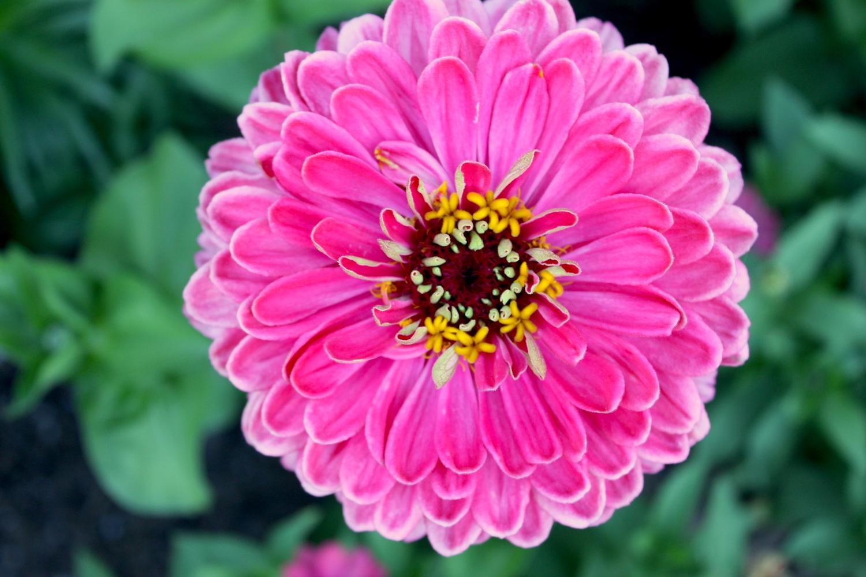 pink-zinnia-1616638-1920x1280.jpg