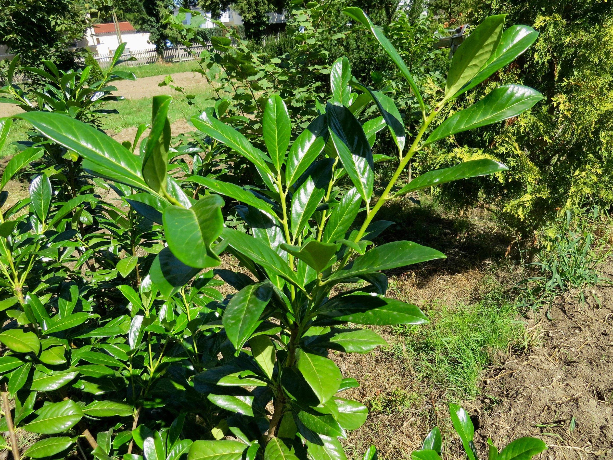 Prunus laurocerasus, Kirschlorbeer.jpg