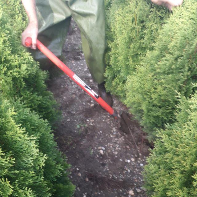 Beim roden von Thuja Smaragd von unseren Feldern. Hier sind Fachleute am Werk!