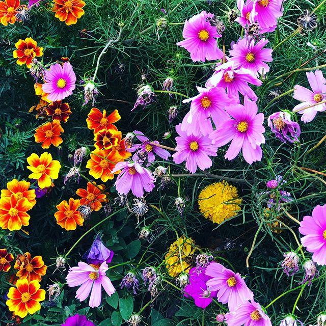 Der Herbst ist da! Wir lieben grüne Hecken aber diese wunderschönen Herbstblumen wärmen unsere Gärtnerherzen! . . . #herbst #herbstblumen #derherbstistda #hecken #aichach #heckenpflanzen