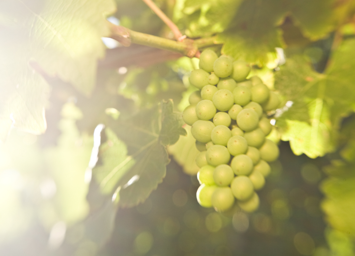 About NZSVO - The New Zealand Society for Viticulture and Oenology (NZSVO) exists for the promotion and dissemination of technical information in viticulture, oenology and related sciences for the benefit of the grape and wine industries of New Zealand.